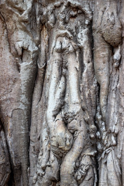boabab roots